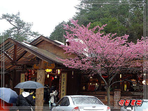 武陵賞櫻DSCF9231