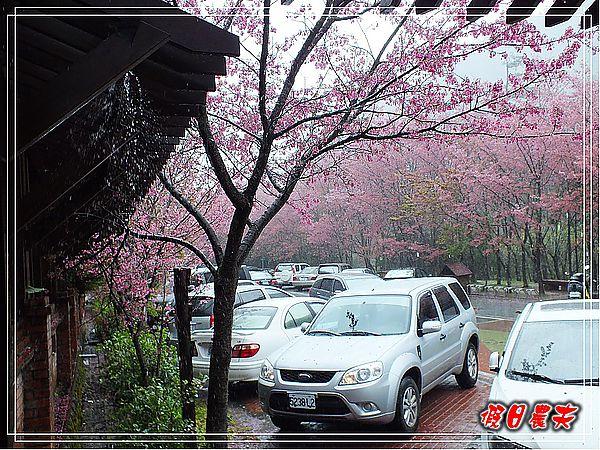 武陵賞櫻DSCF9248