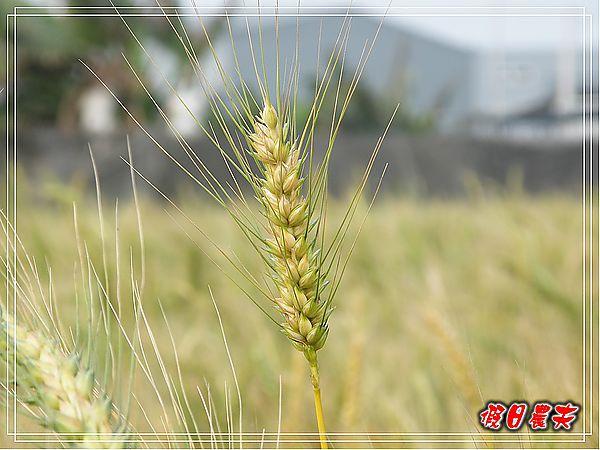 大雅小麥-寶興宮DSCF2590