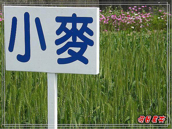 大雅小麥-寶興宮DSCF2609