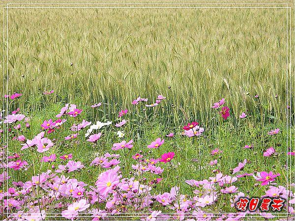 大雅小麥-寶興宮DSCF2627