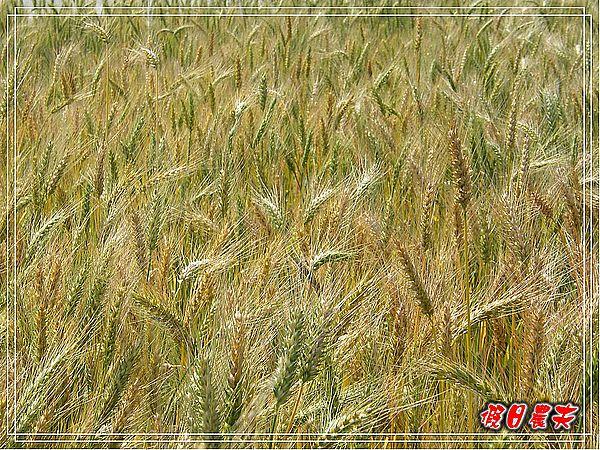 大雅小麥-趙家窯DSCF2670