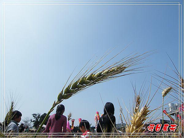 大雅小麥-趙家窯DSCF2690