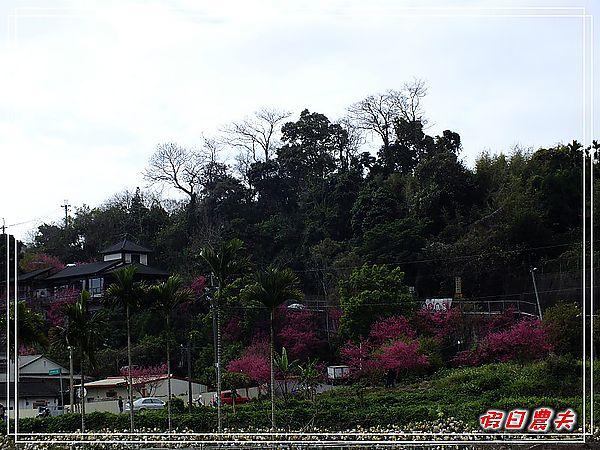 新社櫻花DSCF8656