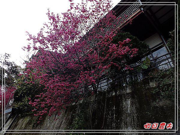 新社櫻花DSCF8661