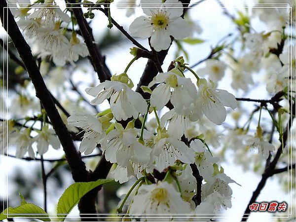 芬園櫻花DSCF8817