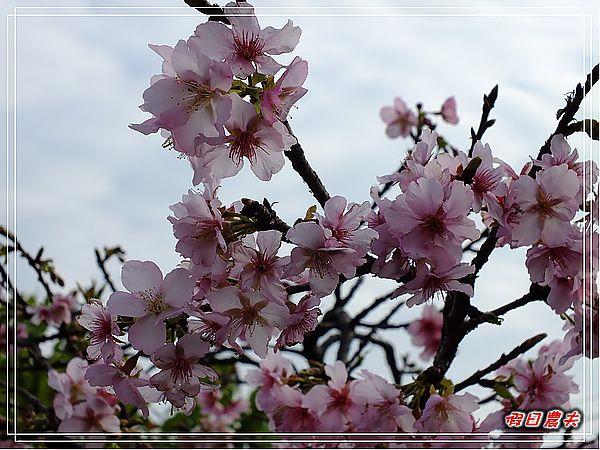 芬園櫻花DSCF8837