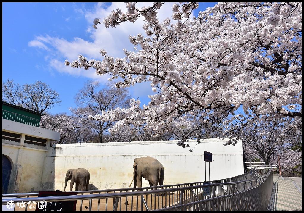 韓國大邱親子賞櫻自由行|達城公園.免費櫻花還有的小型動物園