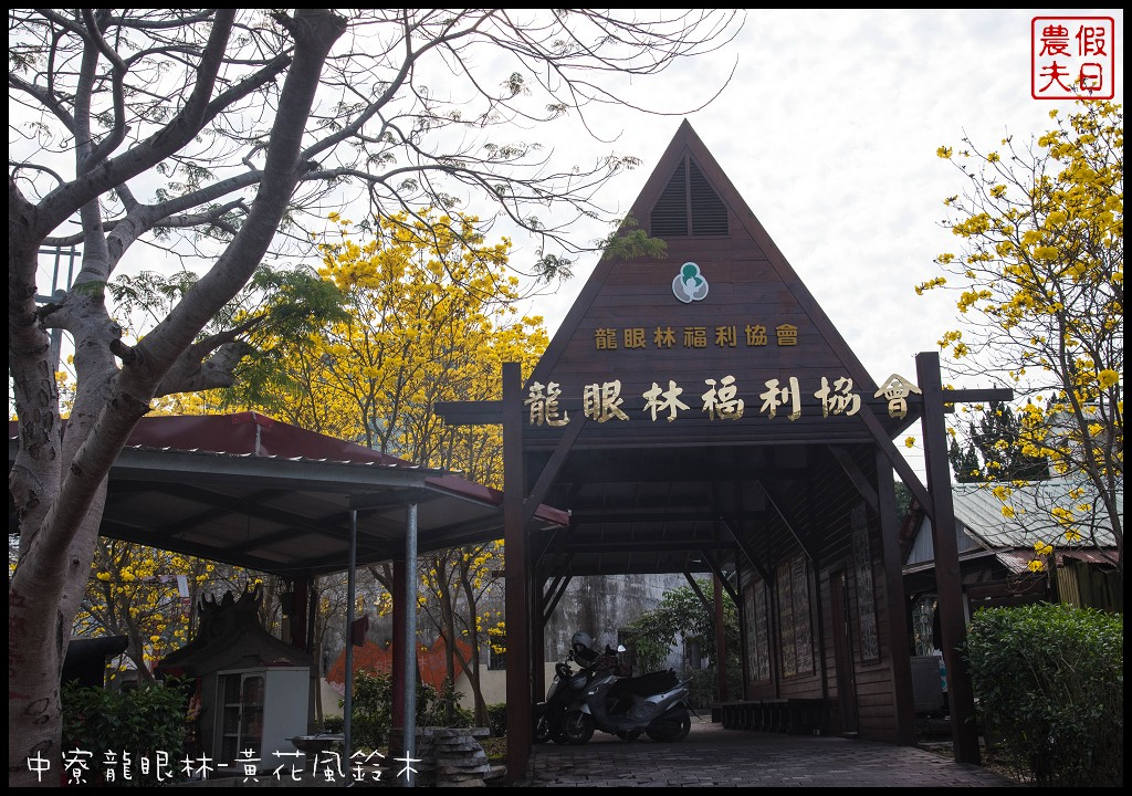 中寮龍眼林-黃花風鈴木